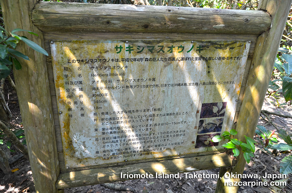 A 400 year old mangrove 「Heritiera Littoralis」in Irimote Island Okinawa Japan